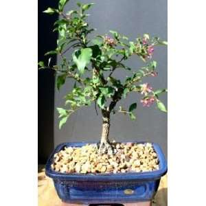 Weeping Cherry Bonsai Tree Large by Grocery & Gourmet Food