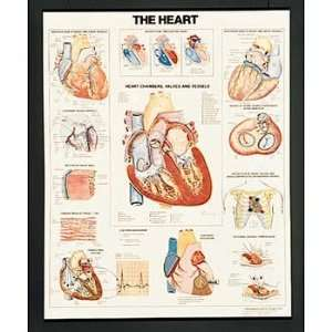Heart, Human Anatomy Chart, Flexible Lamination