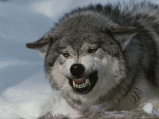 An Alpha Gray Wolf, Canis Lupus, Snarls and Bares Teeth at a Kill