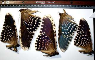 Thysamia agrippina WHOLESALE LOT 5x WORLDS LARGEST MOTH Taxidermy